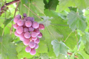 ボージョレ・ヌーボーのもと・赤ブドウ