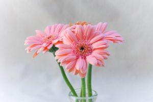 ガーベラ(切り花)