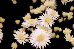 喪中・菊の花