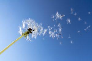 風に吹かれるタンポポの綿毛