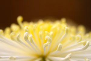 黄色い菊の花