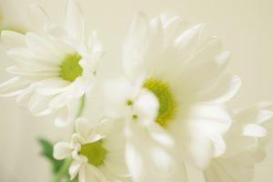 喪中 白菊